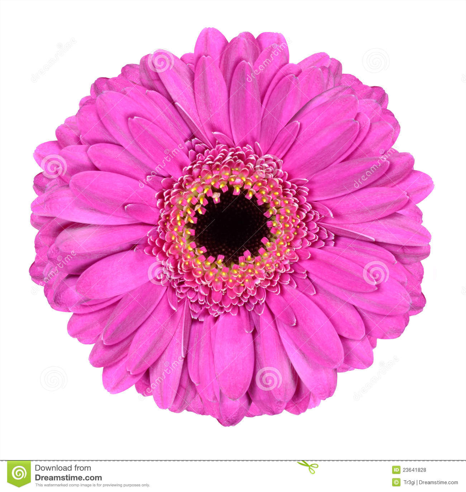Pink Gerbera Marigold Flower Isolated On White Stock Photo Image