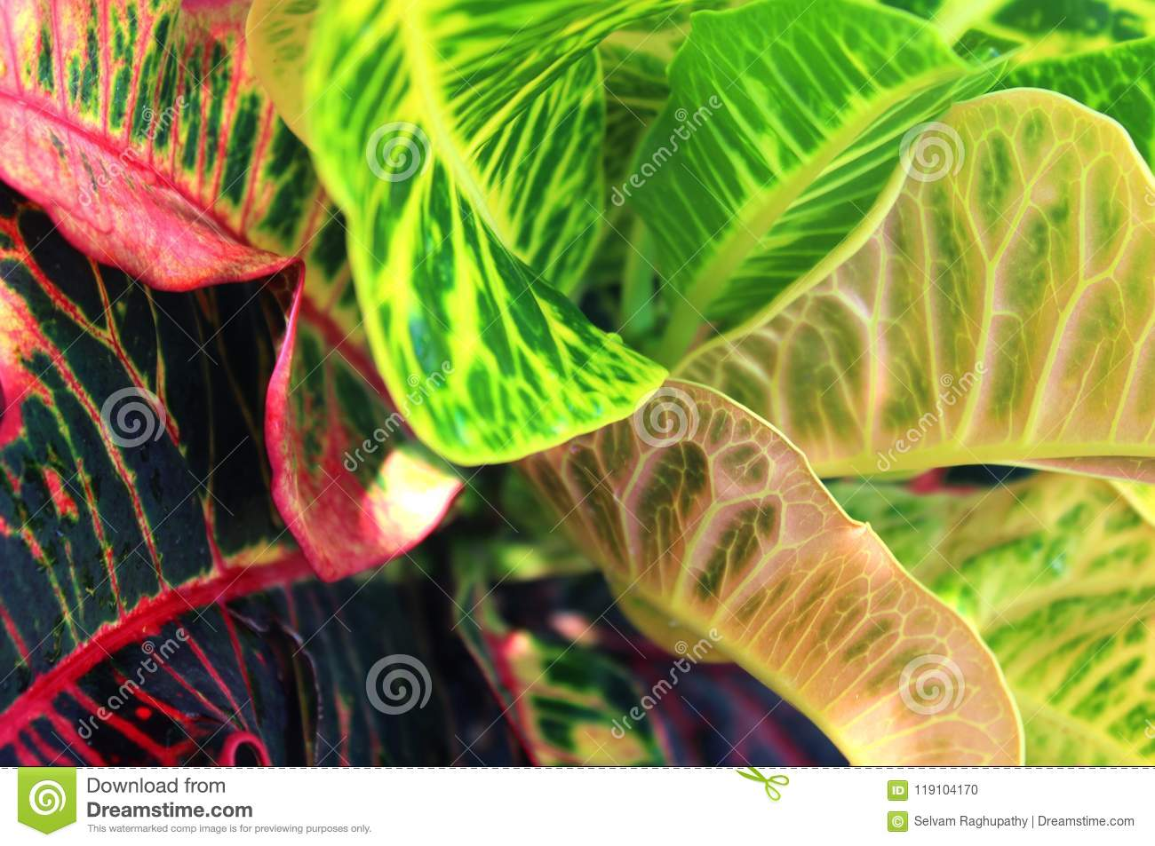 Pink And Green Dieffenbachia Leaves Or Dumb Cane Leaves Background