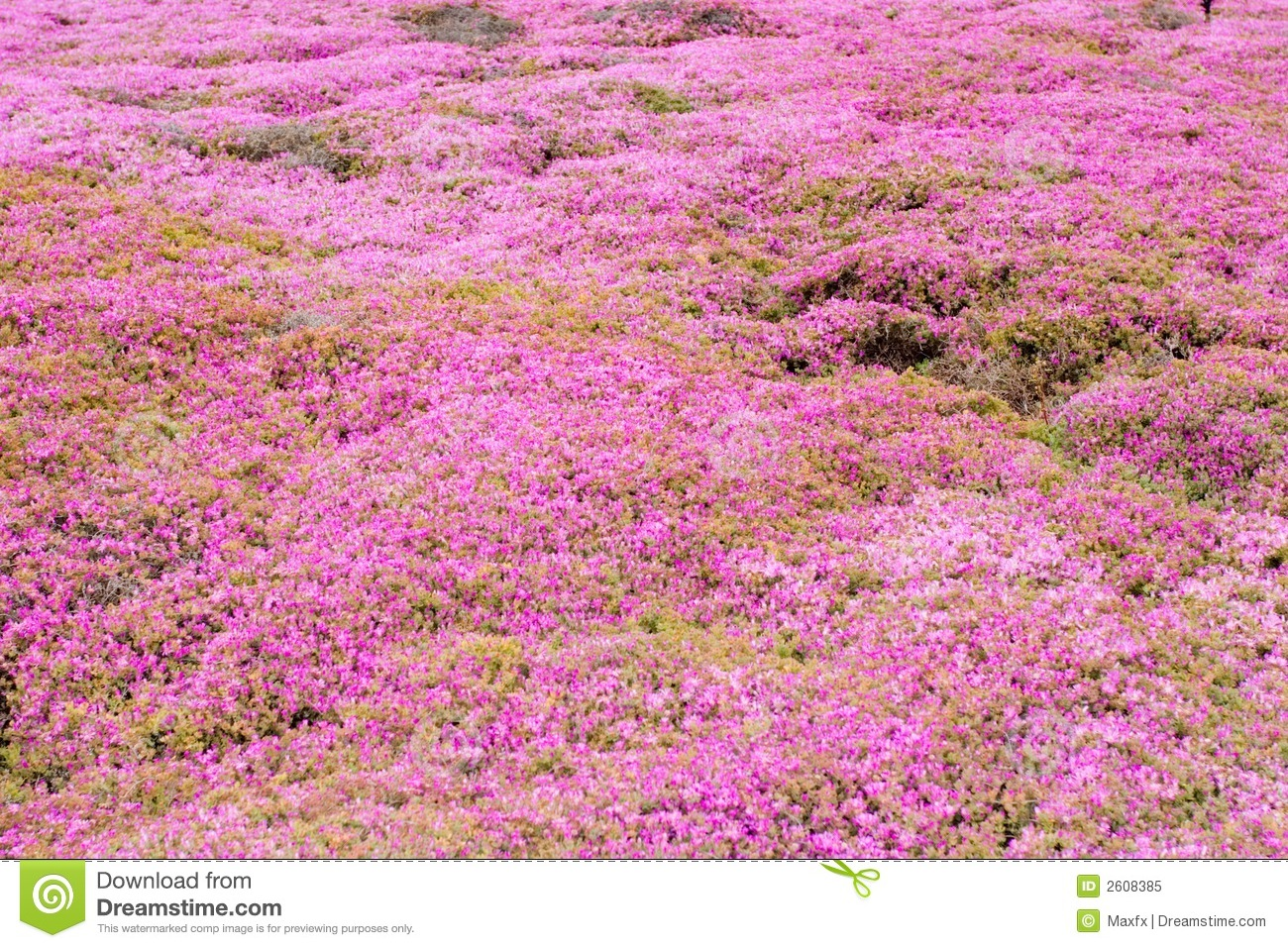 Pink Groundcover Flowers Royalty Free Stock Image