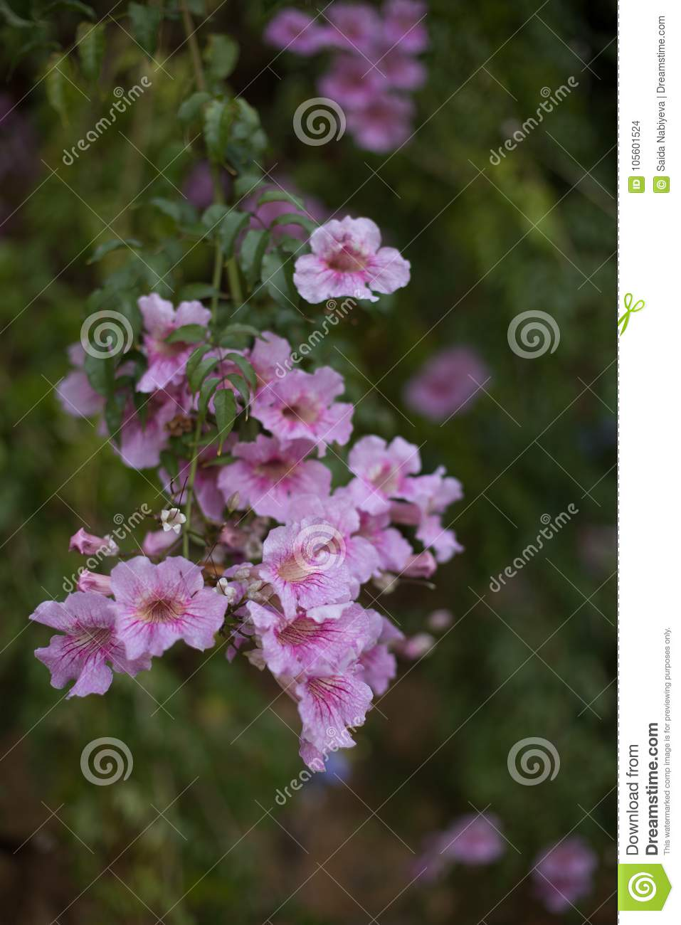 pink hanging flowers against blurred background stock photo image