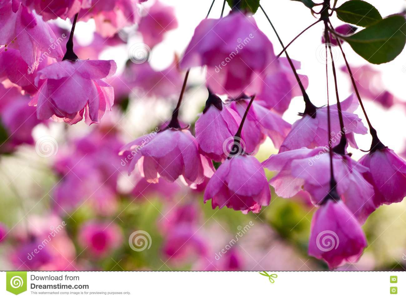 Pink hanging flowers stock photo image of flowering 71887262 pink hanging flowers mightylinksfo