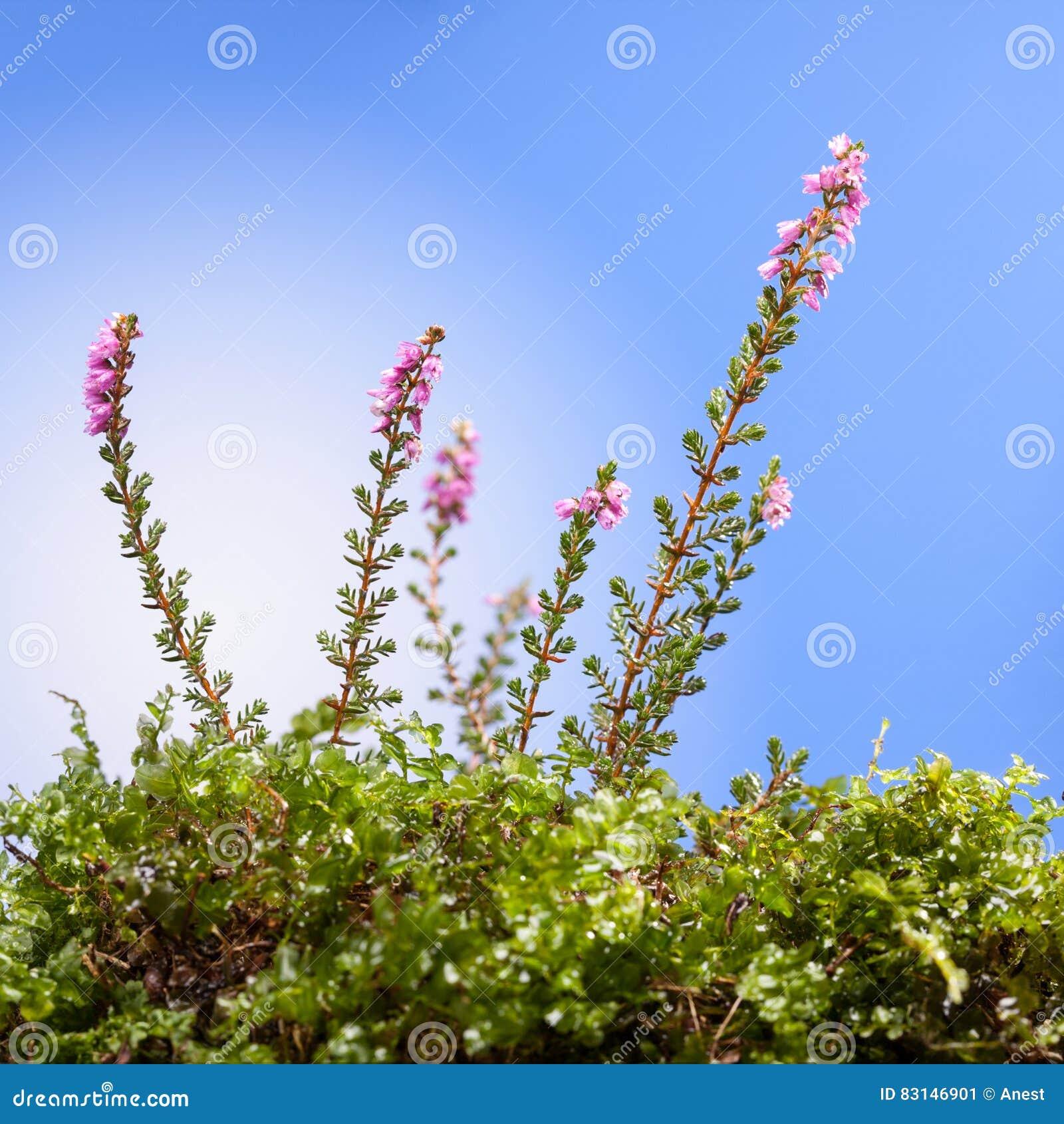 Pink Heath Flower Stock Image Image Of Fall Moor Macro 83146901