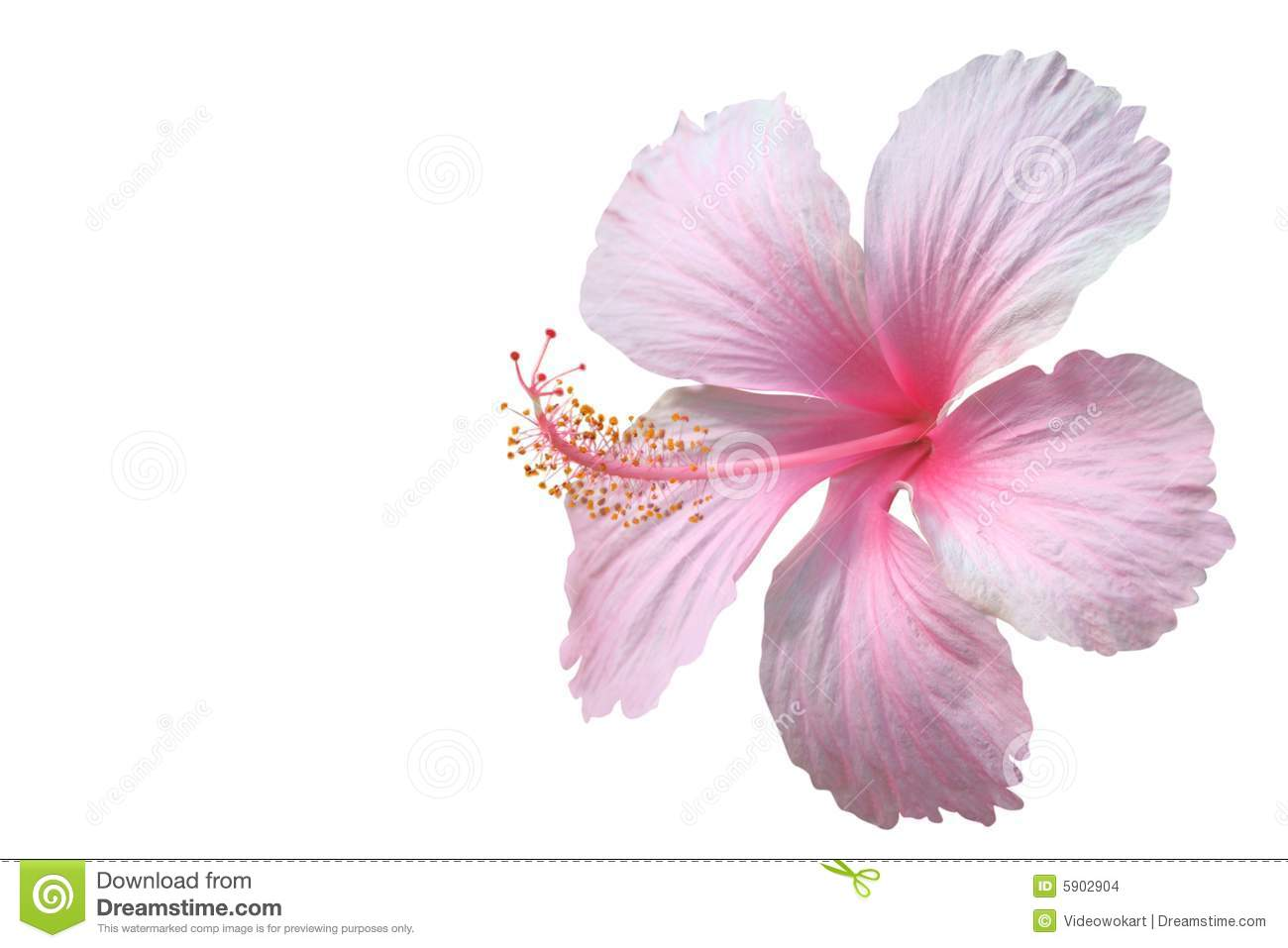 Pink Hibiscus Stock Images - Image: 5902904