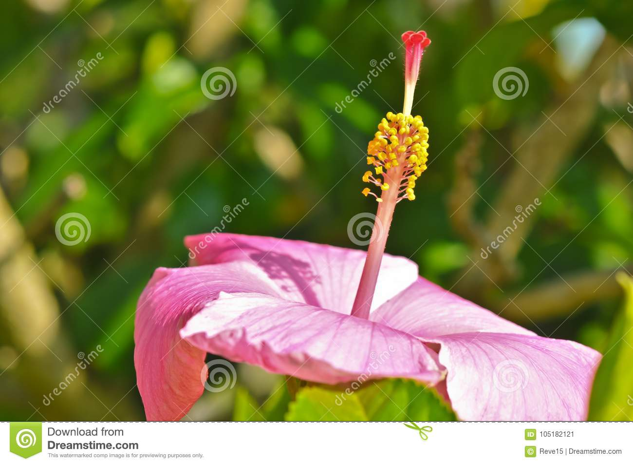Pink Hibiscus Bloom And The Magnification Of The Stigma And The