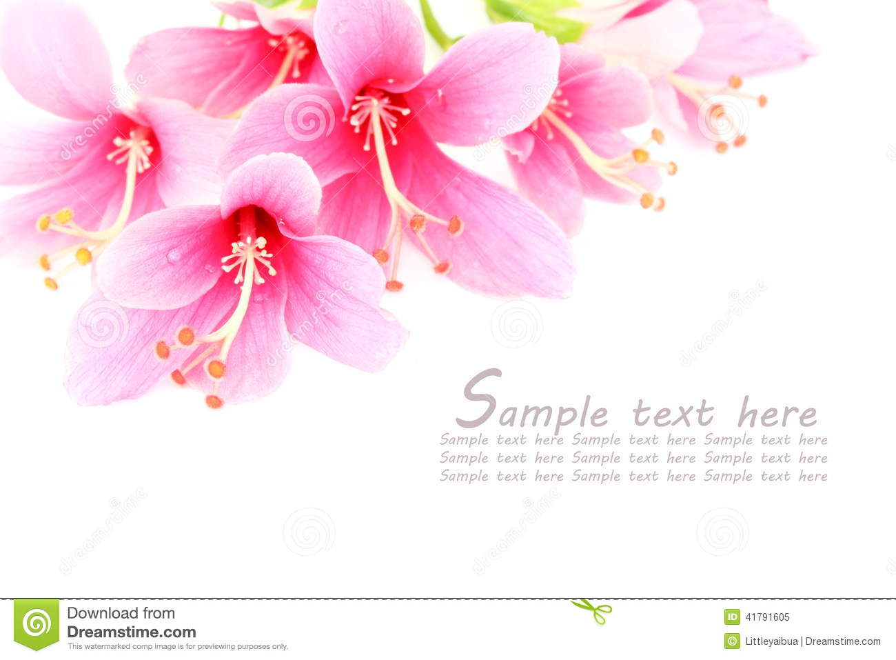 Pink Hibiscus or Chinese rose flower isolated on a white backgr