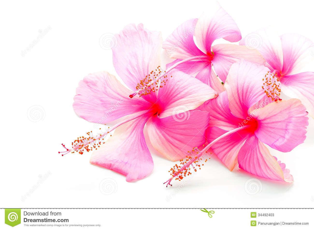 Pink Hibiscus stock image. Image of blossom, isolated ...