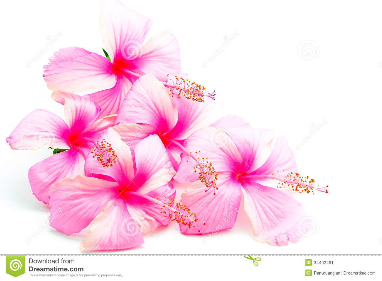 Pink Hibiscus Stock Image Image Of Flora White Beauty 34492461