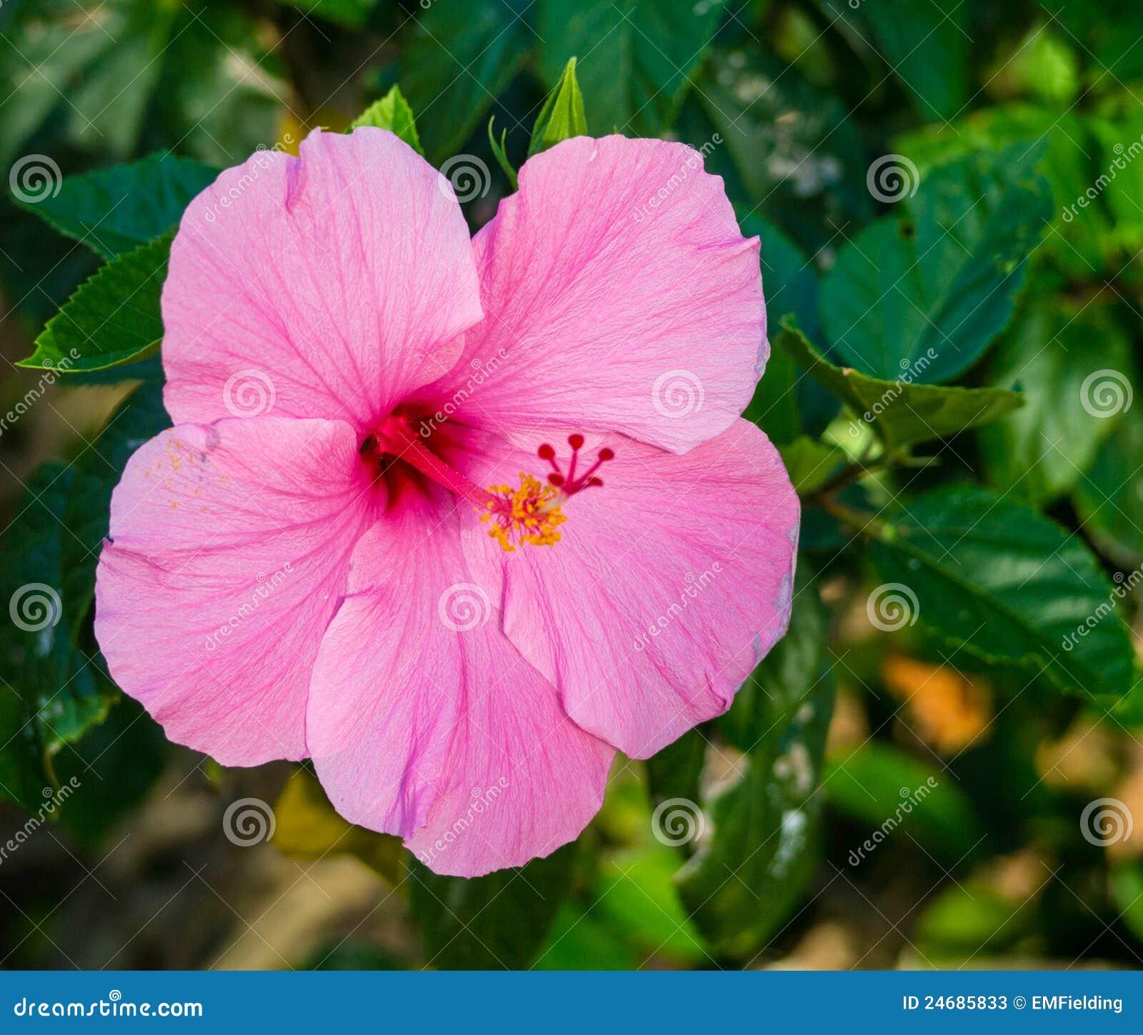 Pink hibiscus flower stock image image of botanical 24685833 pink hibiscus flower izmirmasajfo