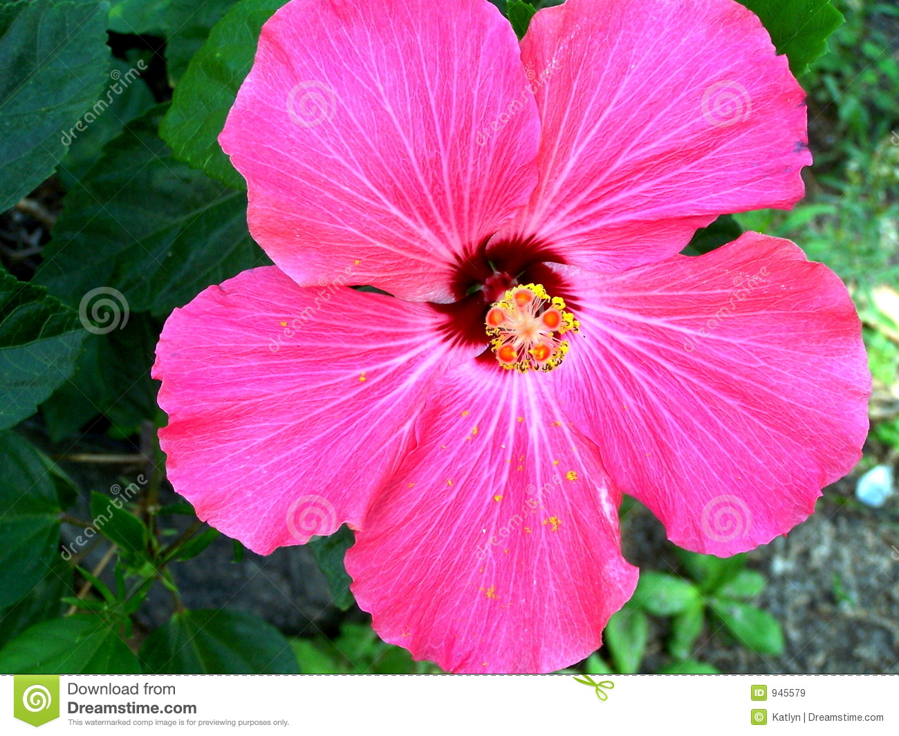 Pink Hibiscus Flower Stock Image Image Of Beautiful Flower 945579