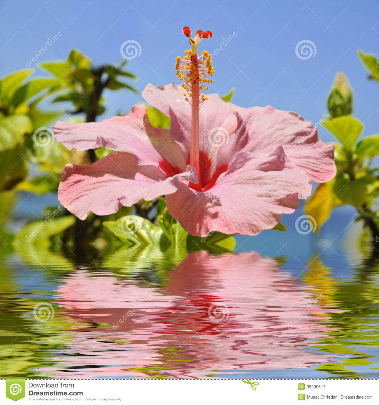 Pink Hibiscus Flower Above The Water Stock Image Image Of