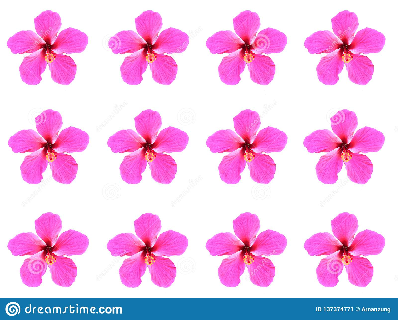 Hibiscus Flower Blooming And Alignment Isolated On White Background