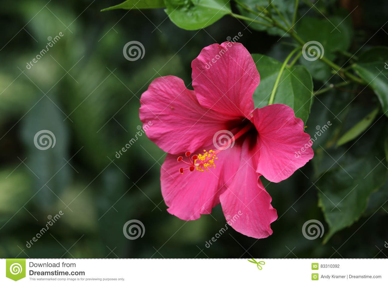 Pink Hibiscus Flower On A Branch Close Up Stock Photo Image Of