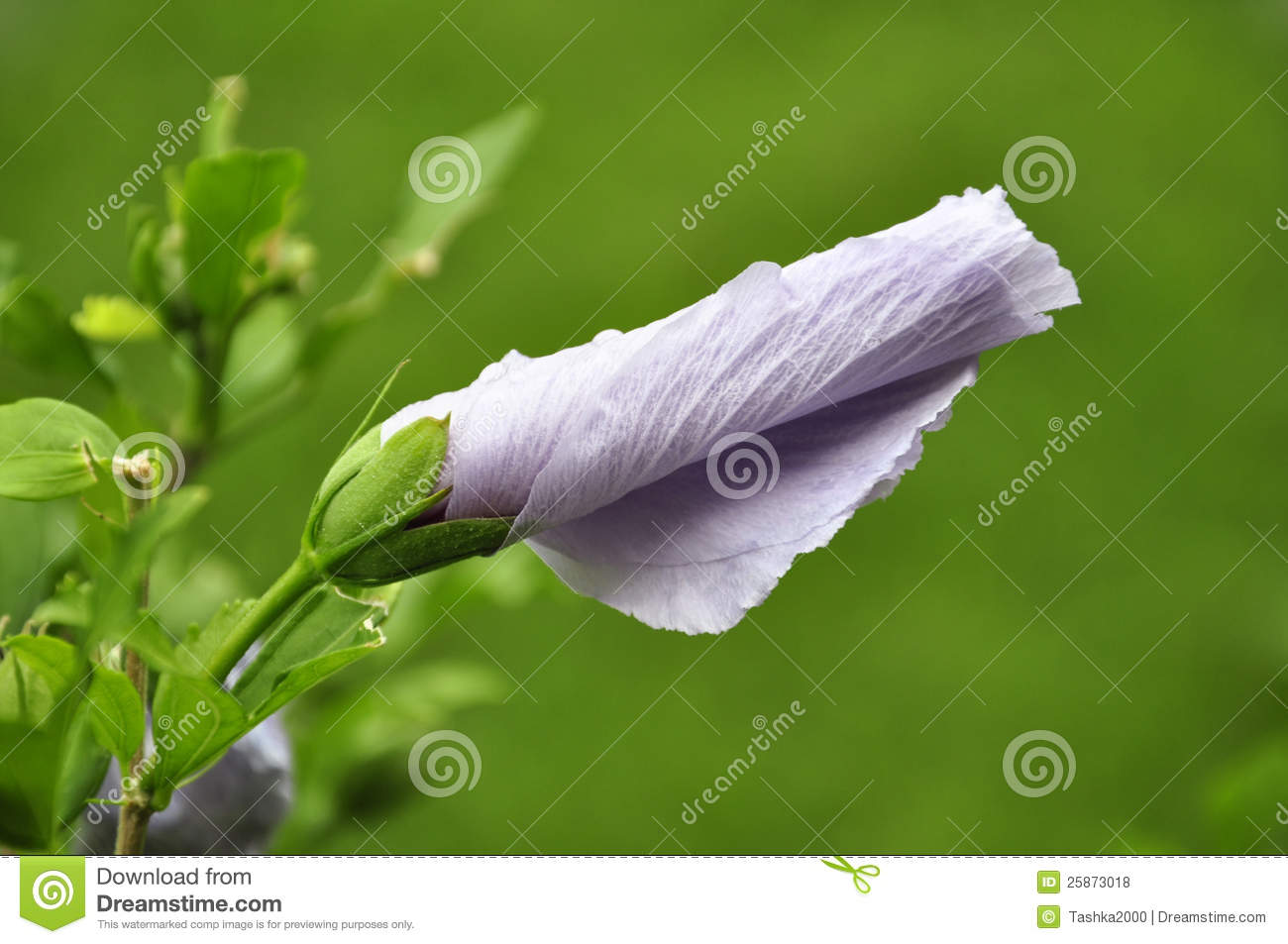 Pink Hibiscus Flower Bud Stock Photo Image Of Foliage 25873018