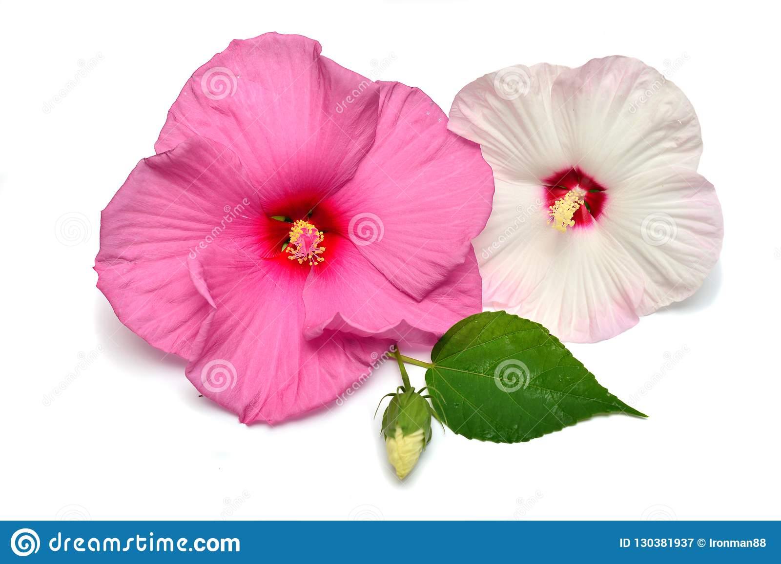 Pink Hibiscus Flower With Bud And Leaf Stock Image Image Of Gift