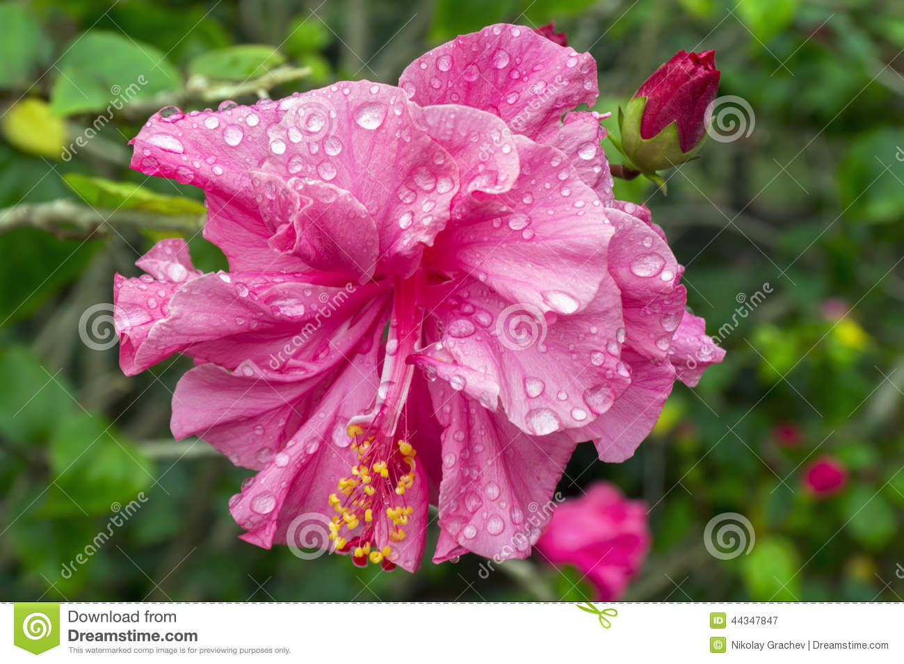 Pink Hibiscus Flower And Bud After Rain Stock Image Image Of