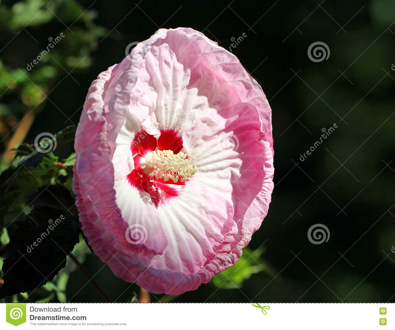 Pink hibiscus flower stock photo image of flower tropical 76354098 pink hibiscus flower izmirmasajfo