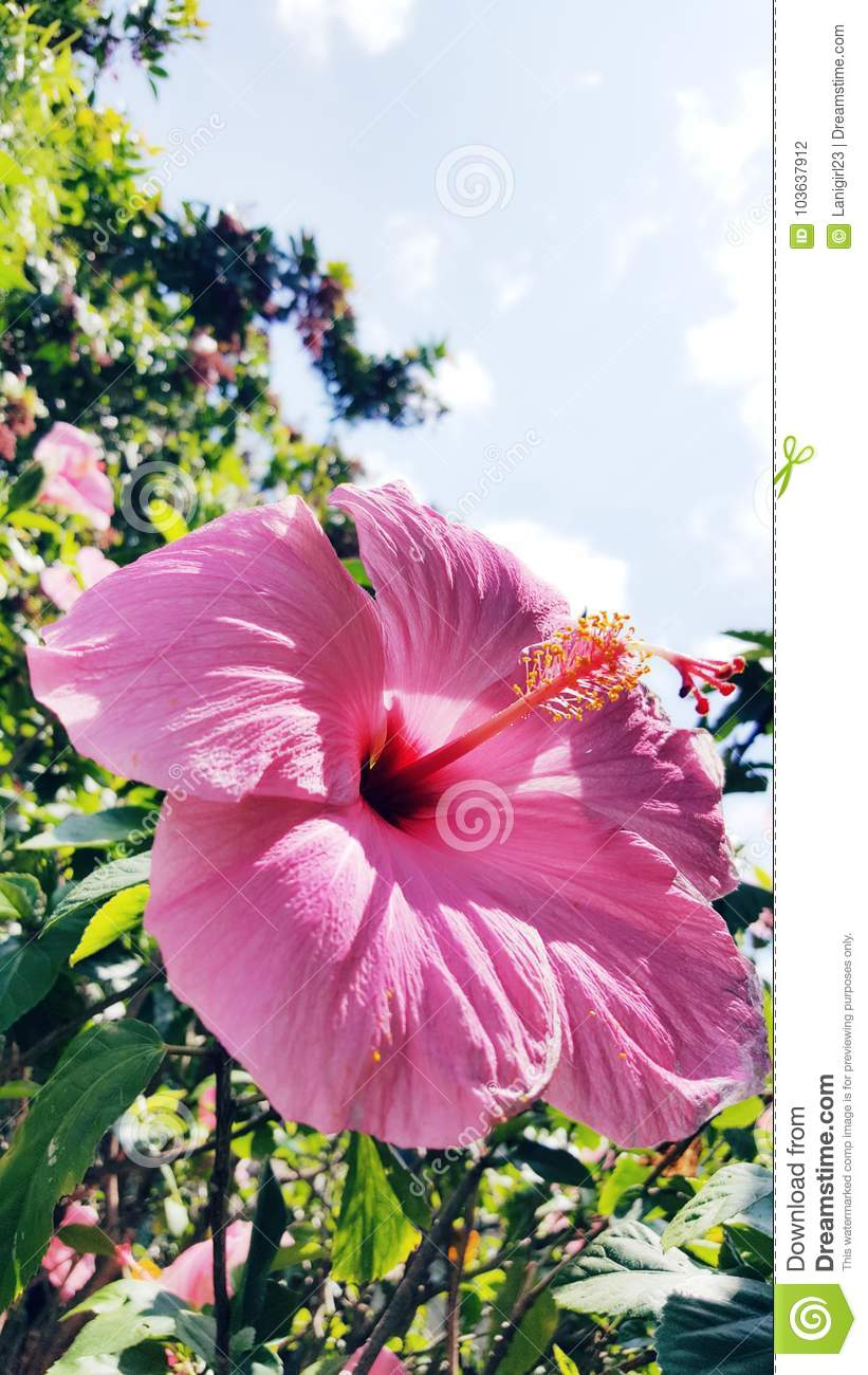 Pink Hibiscus Flower Garden Lei Tropical Stock Photo Image Of
