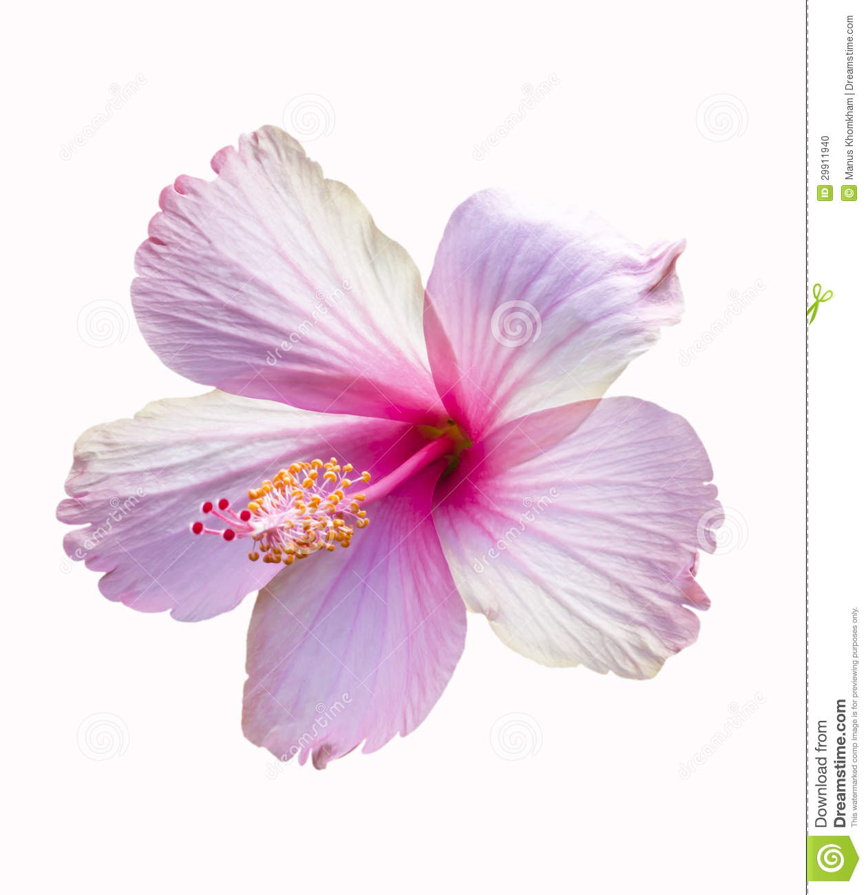 Pink Hibiscus Flower Stock Photo Image Of Plant Beautiful 29911940
