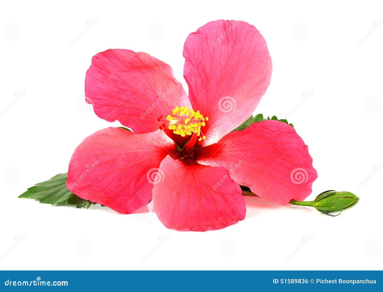 Pink hibiscus flower isolated on white background stock photo pink hibiscus flower isolated on white background izmirmasajfo