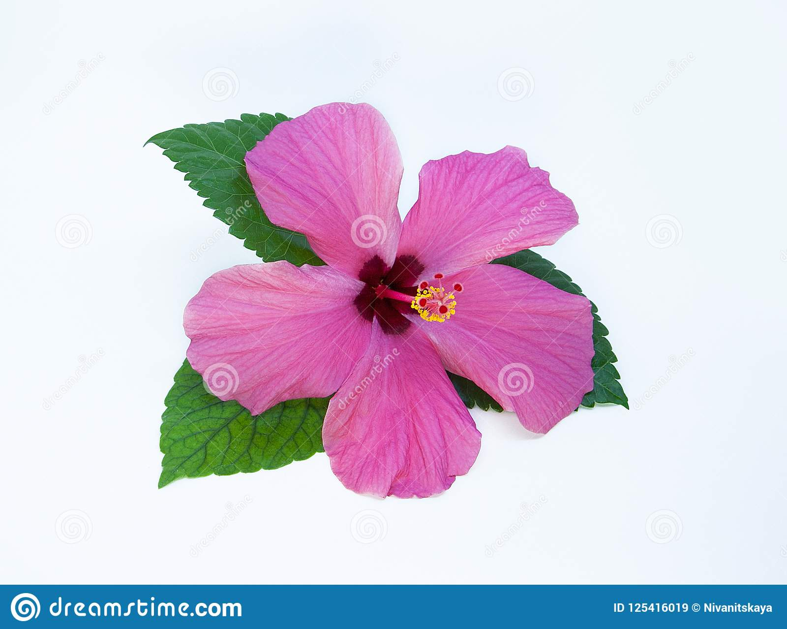 Pink Hibiscus Flower Isolated On White Background Pink Flower With