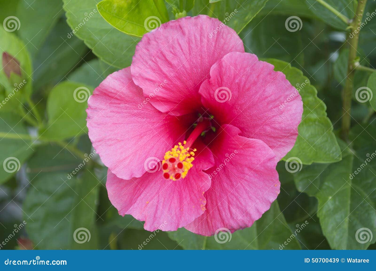 Pink Hibiscus Flower Stock Image Image Of Garden Hibiscus 50700439