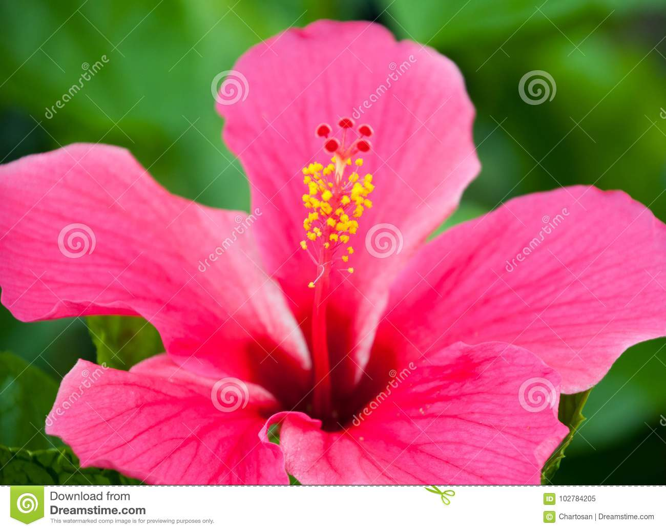 Pink hibiscus flower and pollen stock image image of blooming pink hibiscus flower and pollen stock image image of blooming closeup 102784205 izmirmasajfo