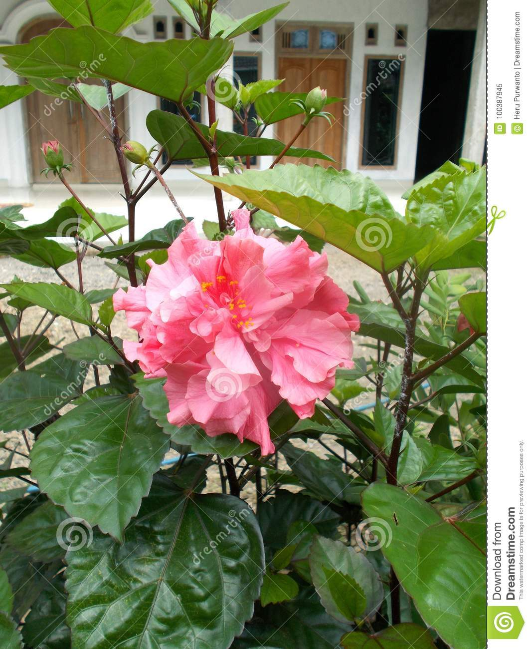 Pink Hibiscus Flower Stock Image Image Of Blossom Color 100387945