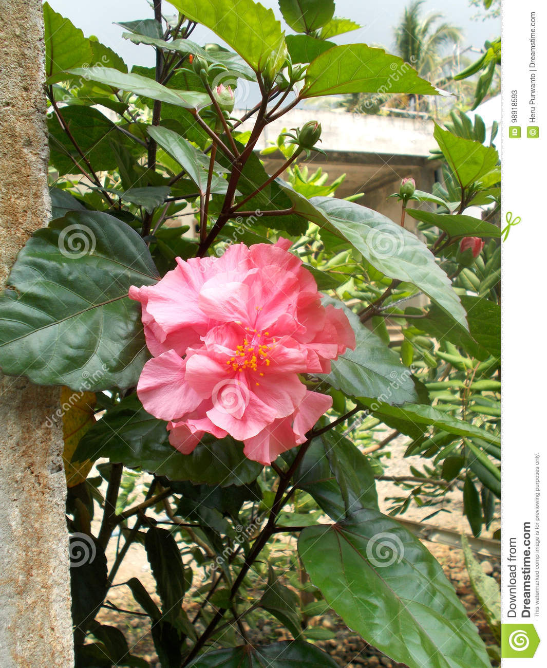 Pink Hibiscus Flower Stock Image Image Of Fresh Aromatic 98918593