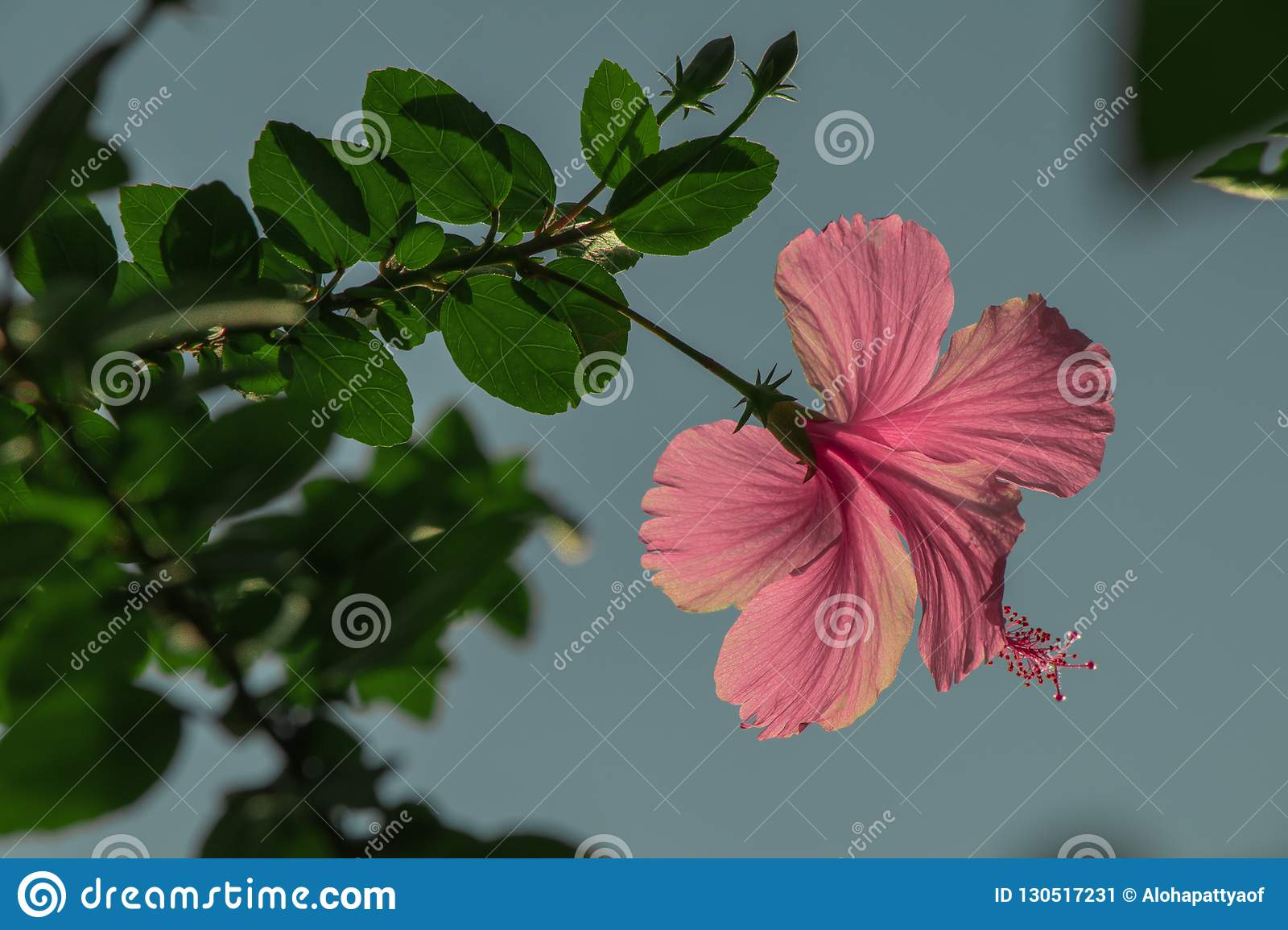 Pink Hibiscus Rosa Sinensis Flower Or Shoe Flower Stock Image
