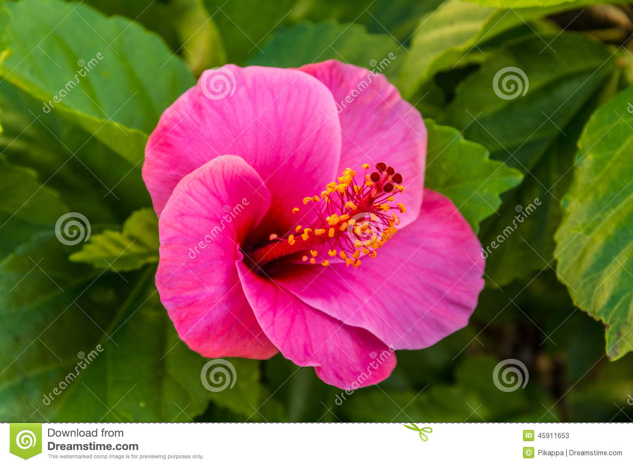 The pink hibiscus stock image image of pink leaf flower 45911653 download comp izmirmasajfo