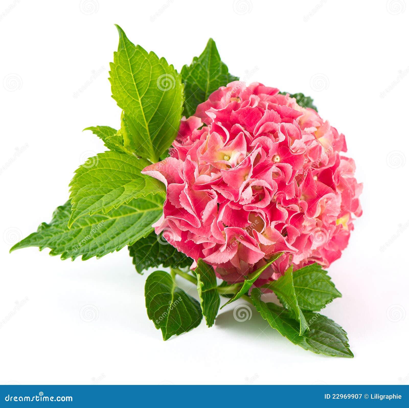 pink hortensia blossom fresh hydrangea flower royalty hydrangea clip art images hydrangea clip art free images