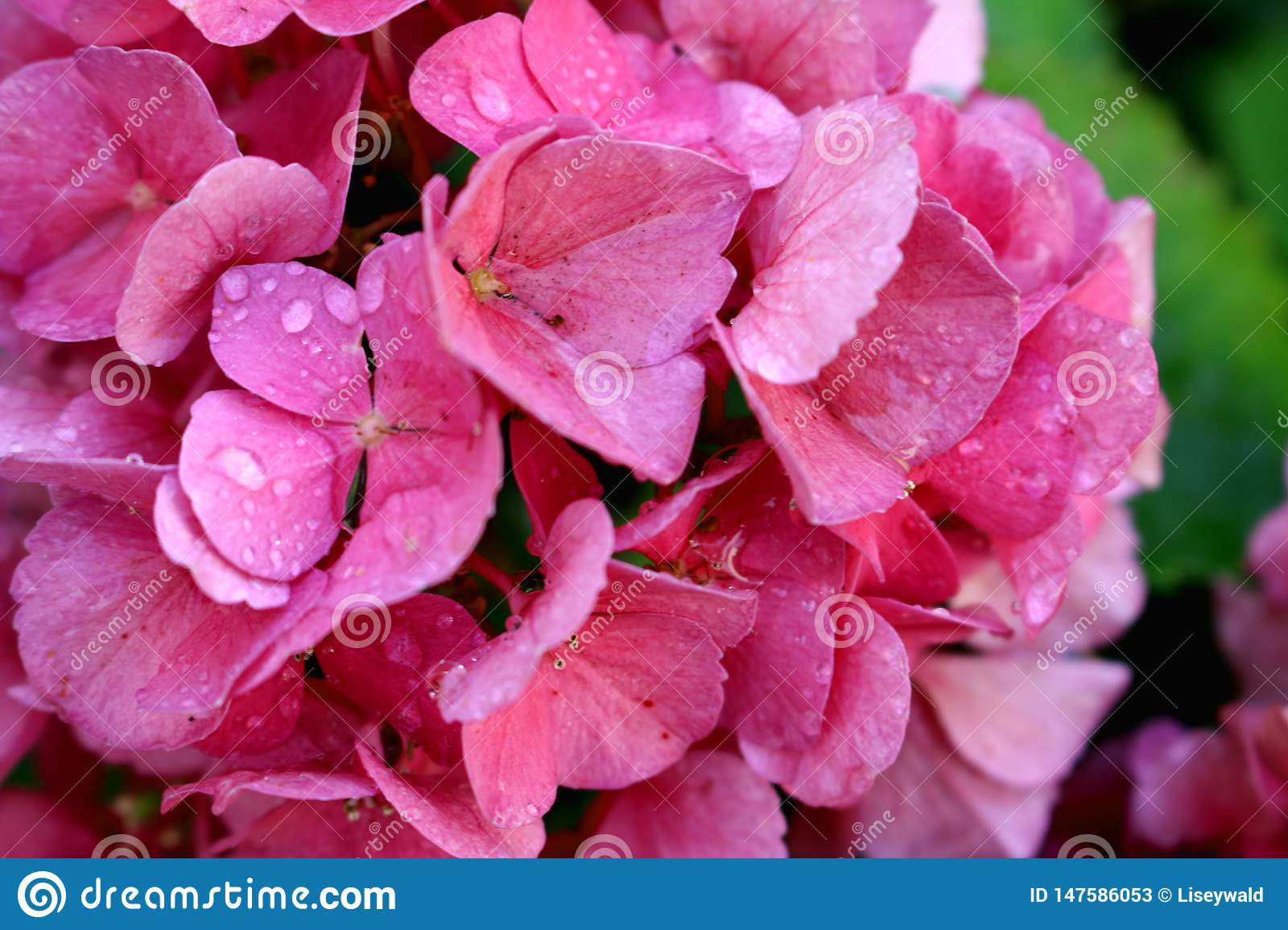 Pink hortensia blossoms with water drops and green background