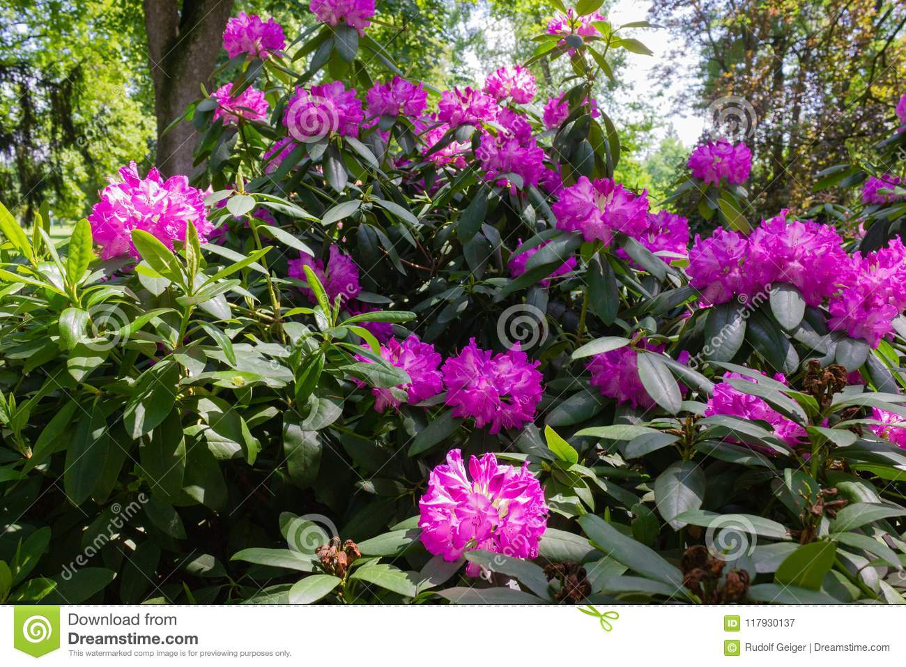 City Pink Park In Hortensia Historical Image Green Stock Of TTtO7wq