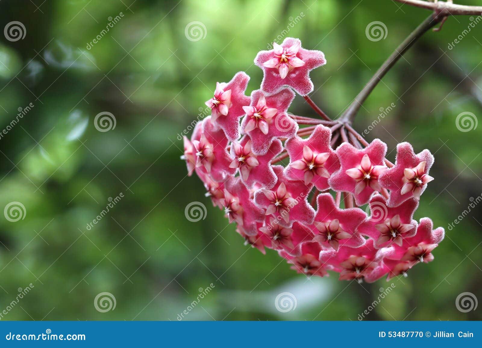 Pink Hoya flower
