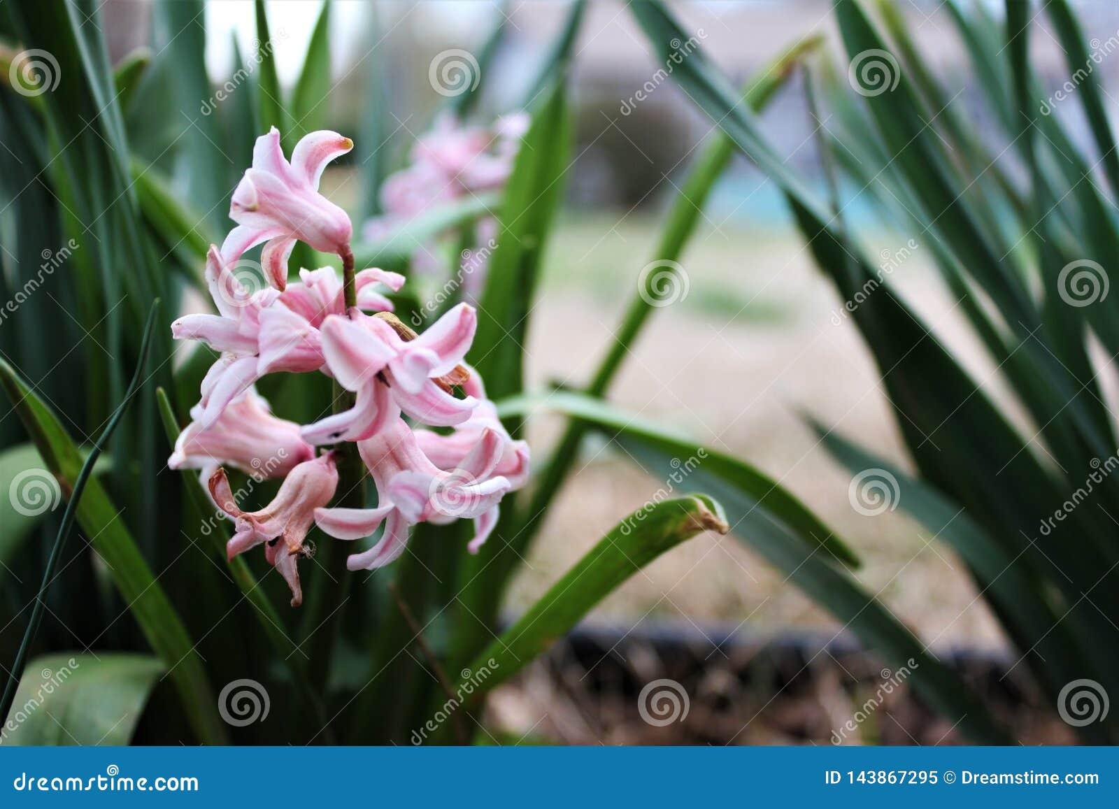Pink Hyacinth Flower Beautiful