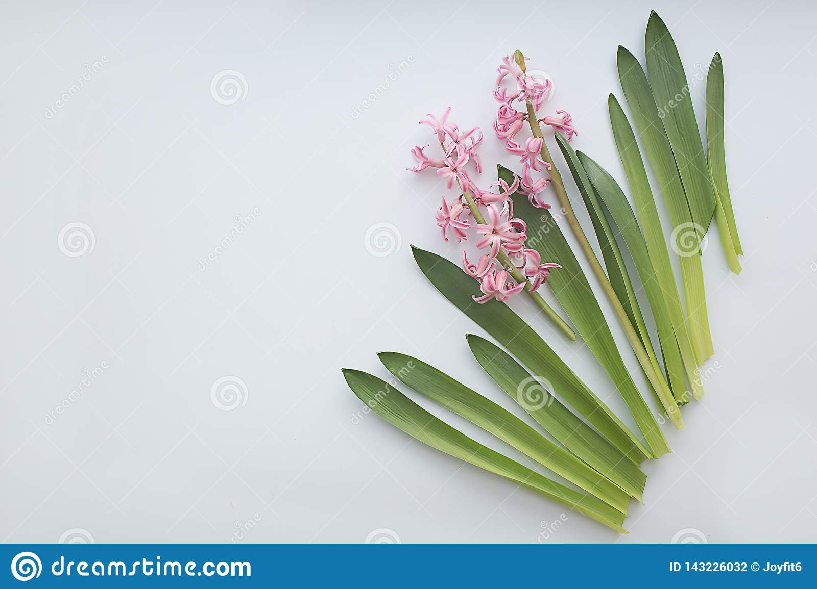 Pink hyacinth flowers with leaves on white background. Flat lay, copy space, top view. Flowers composition