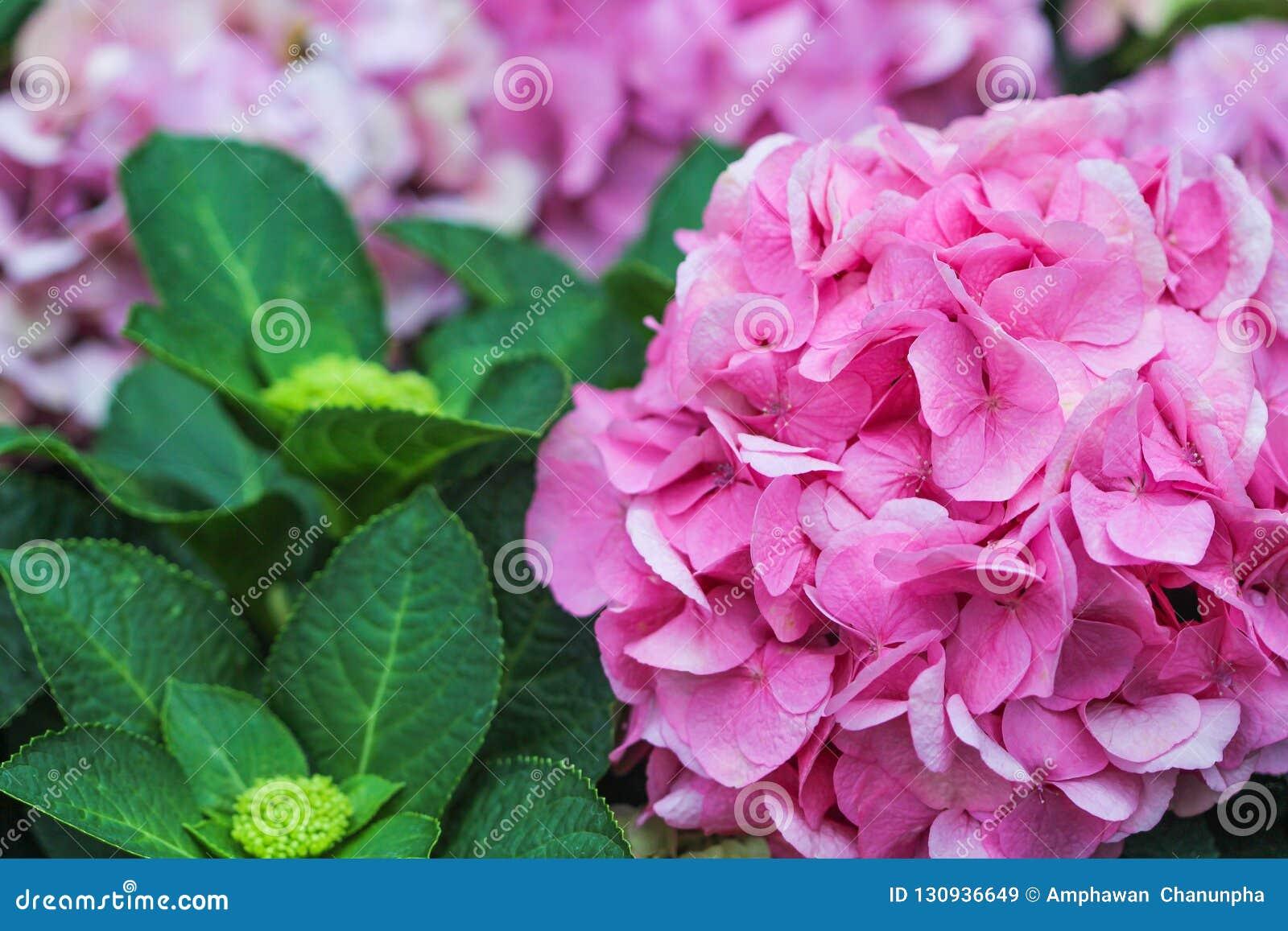 Pink hydrangea flowers in garden,Natural patterns background