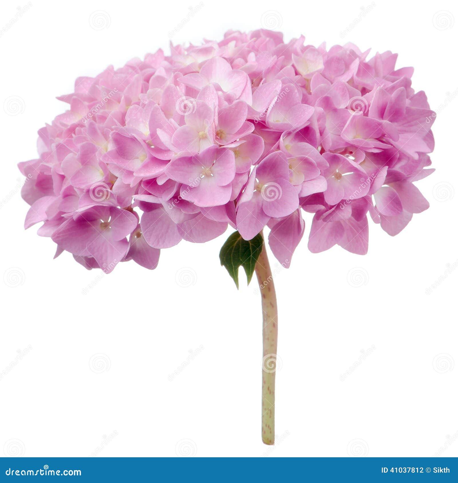 Pink Hydrangea Flowers Isolated On White Background Stock Photo