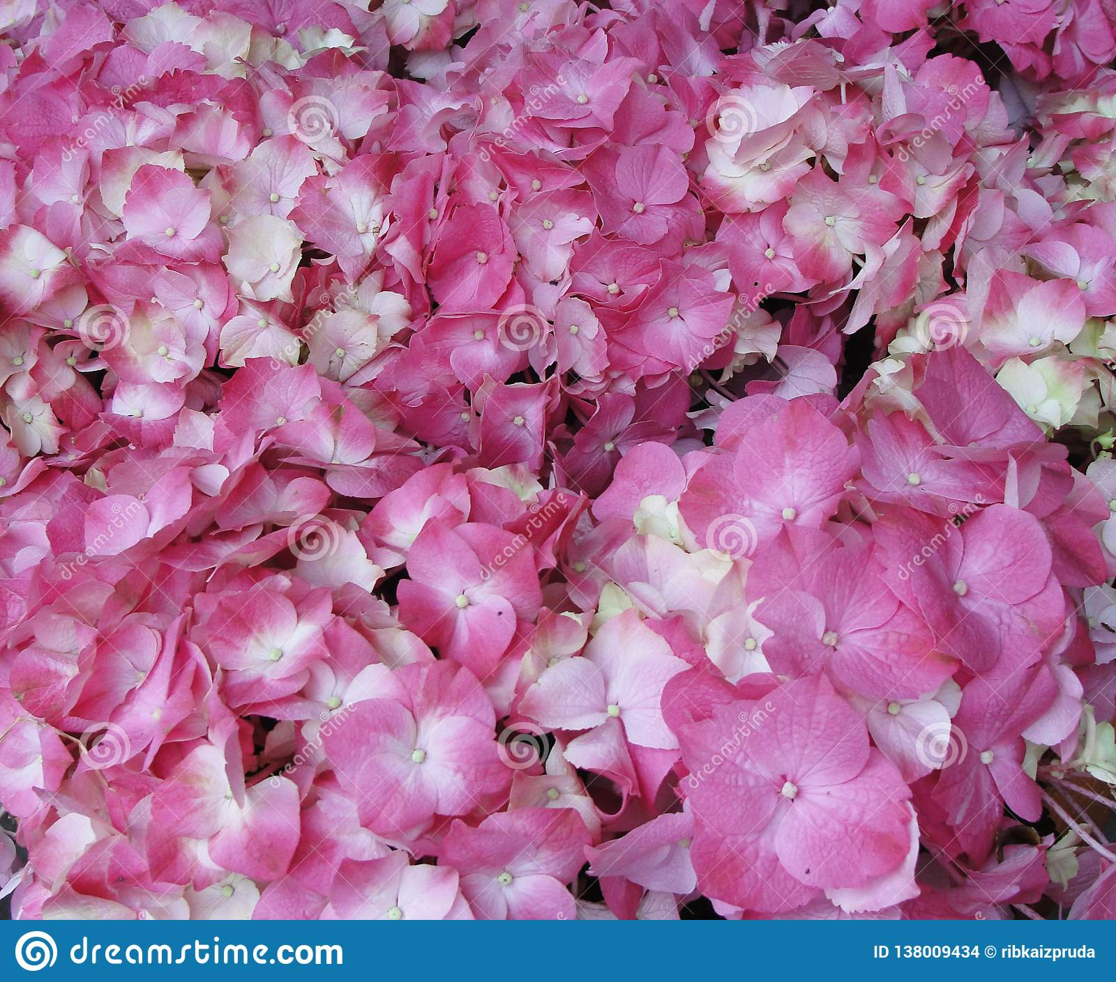Pink Hydrangea Hortensia flower in color variations ranging from light pink to fuchsia color