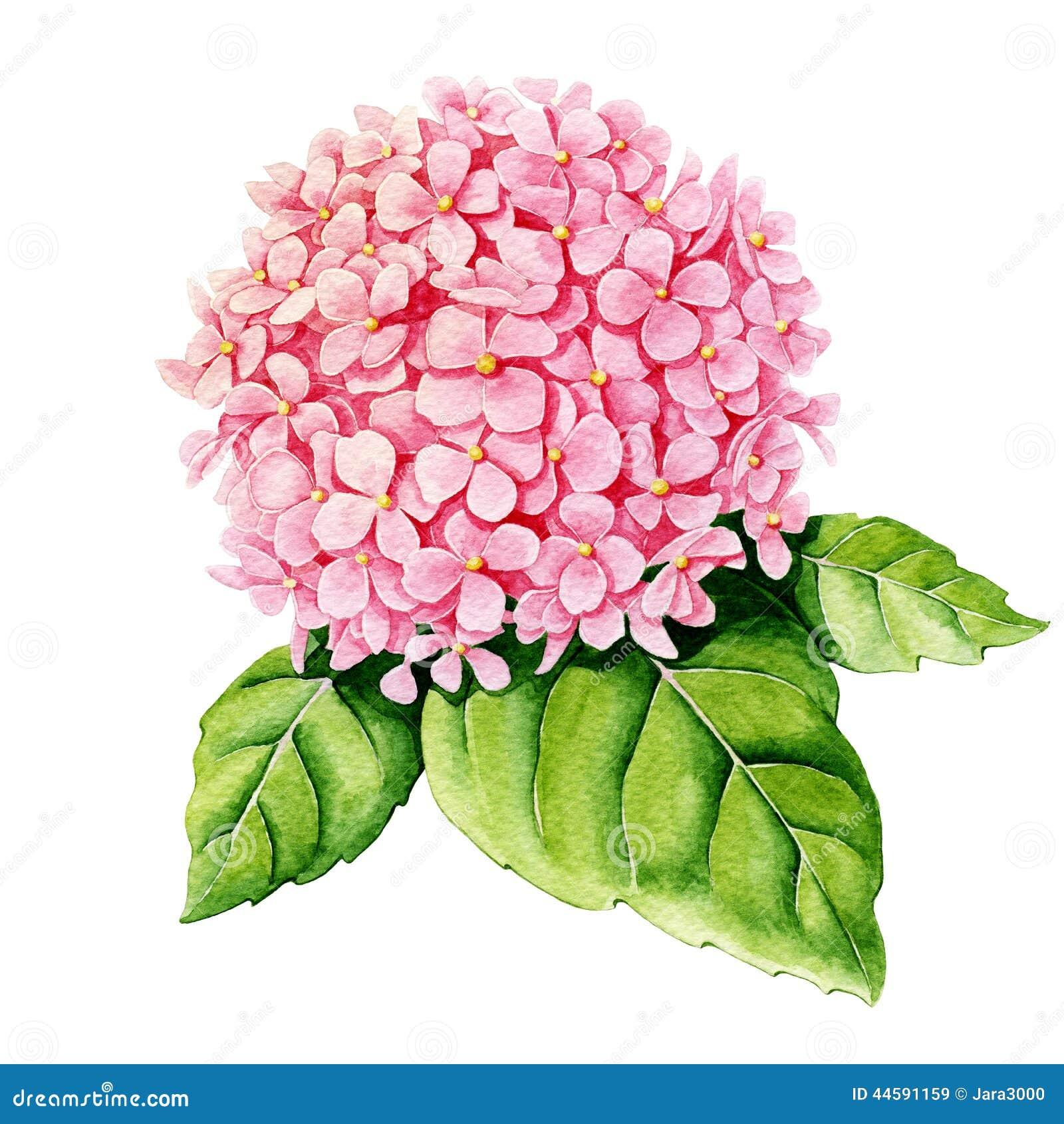 Pink hydrangea watercolor stock illustration for Colore ortensia