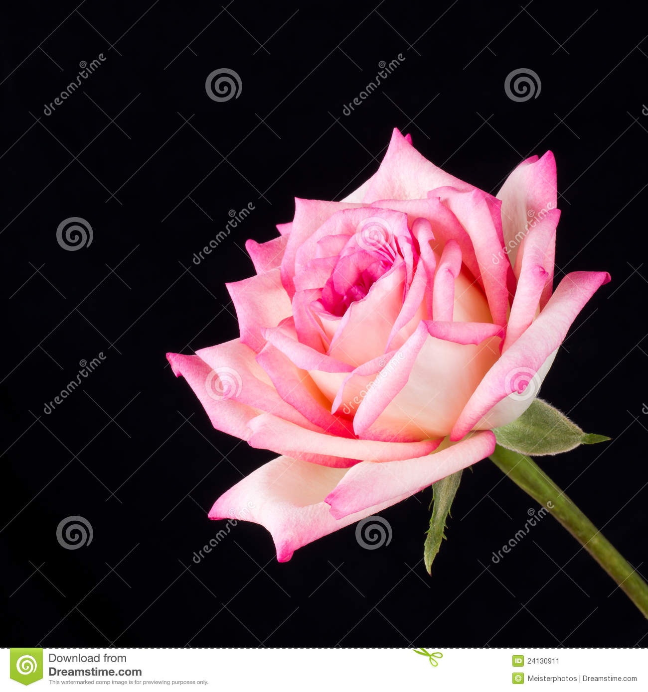 Tea Rose Clipart Black And White: Pink And Ivory Tea Rose On Black Background Stock Image