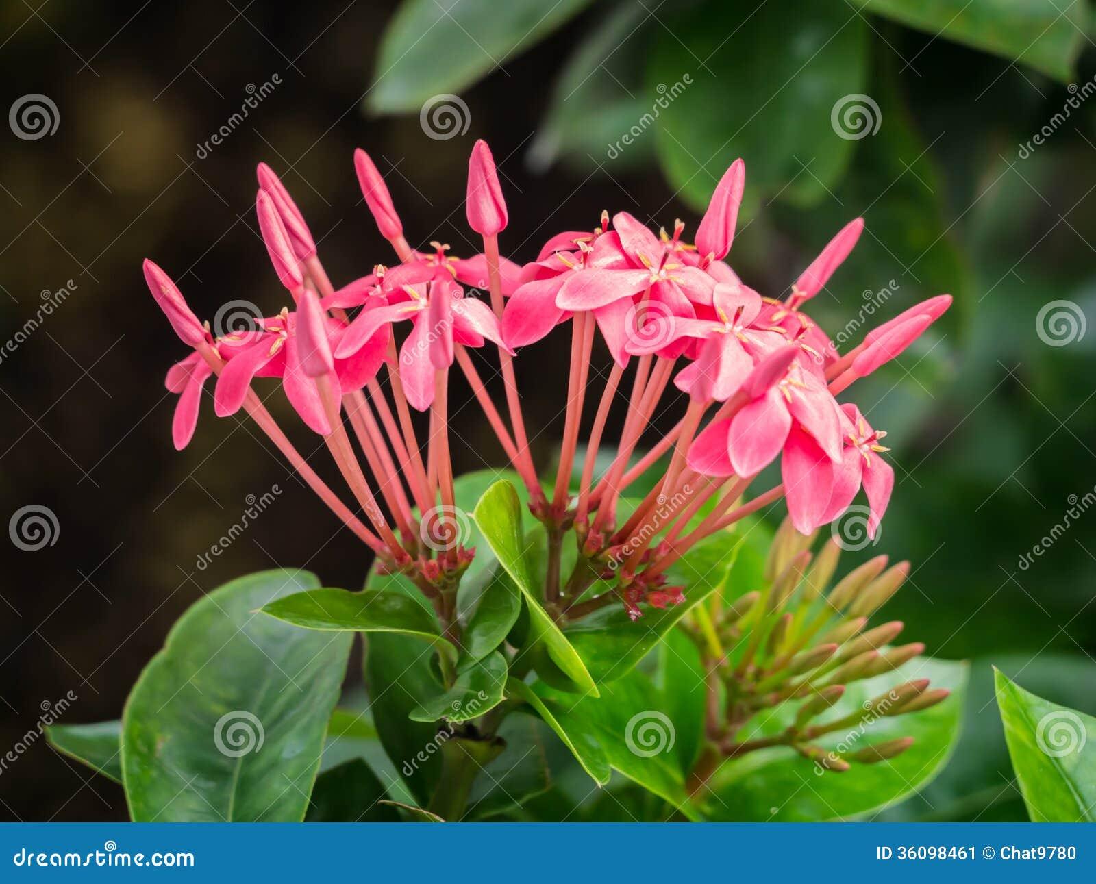 Fotos De Stock Chat9780: Pink Ixora Stock Image