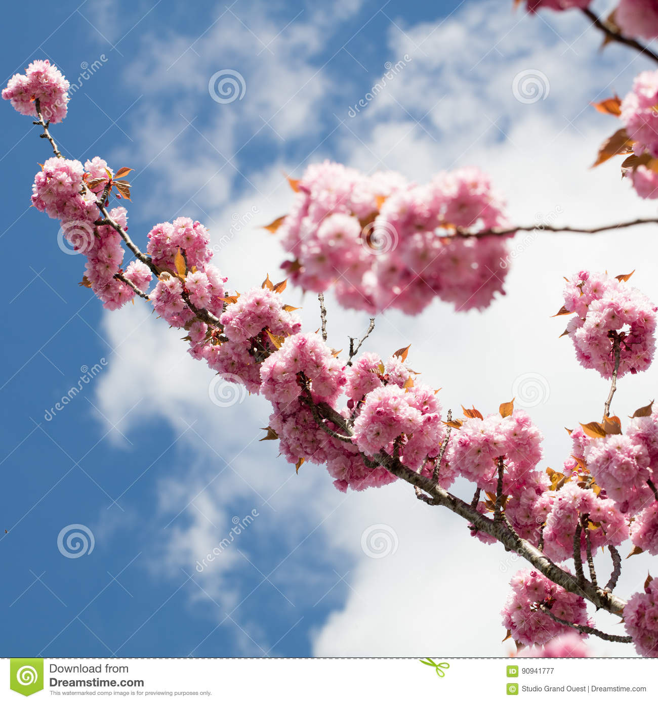Pink Japanese Cherry Branch Over Blue Sky And White Clouds Stock