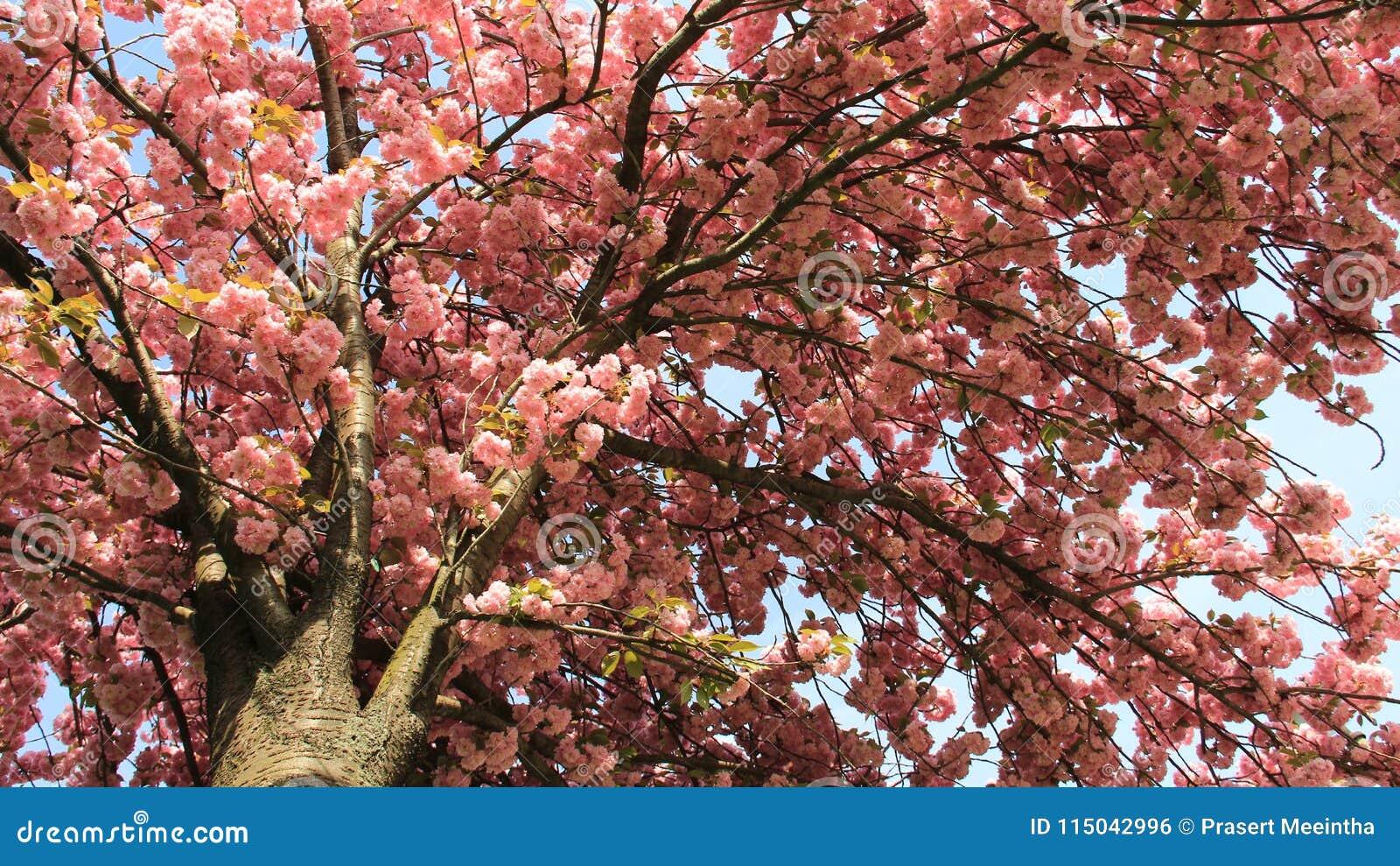 Pink Japanese Cherry Sakura Blooming Stock Photo Image Of