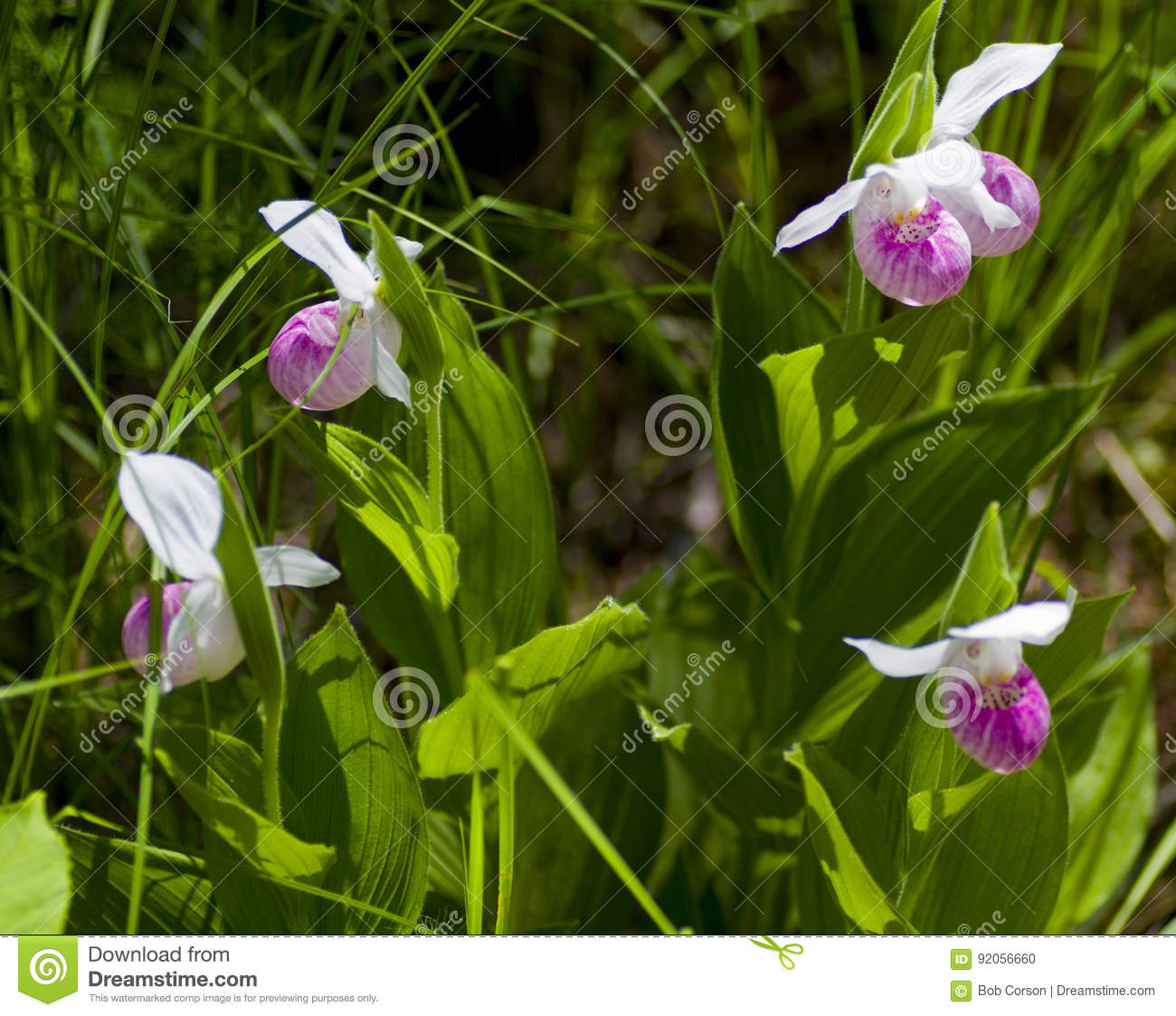 Pink Lady Slipper Stock Photo Image Of Moccasin Flowers 92056660