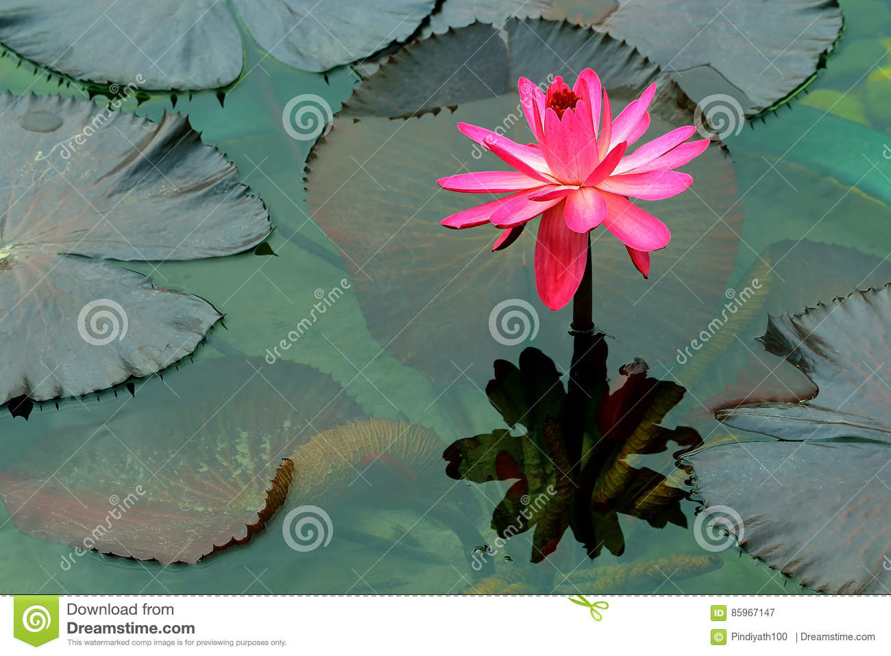 Pink large water lily and reflection