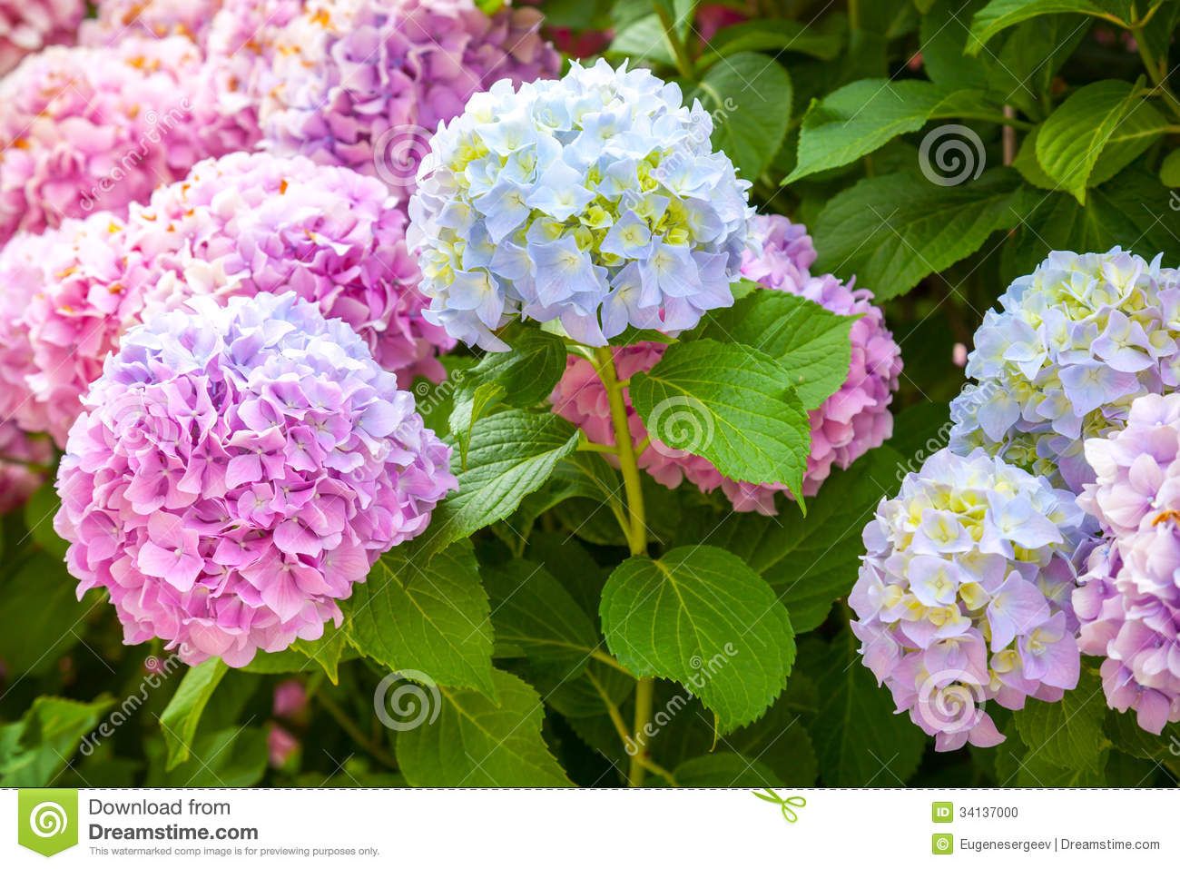 Pink And Light Blue Hydrangea Flowers Stock Photo Image
