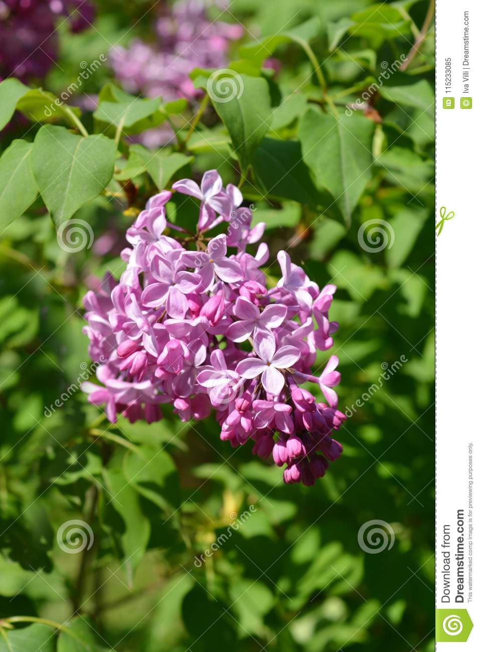 Pink Lilac Stock Image Image Of Blossom Detail Blooming 115233085