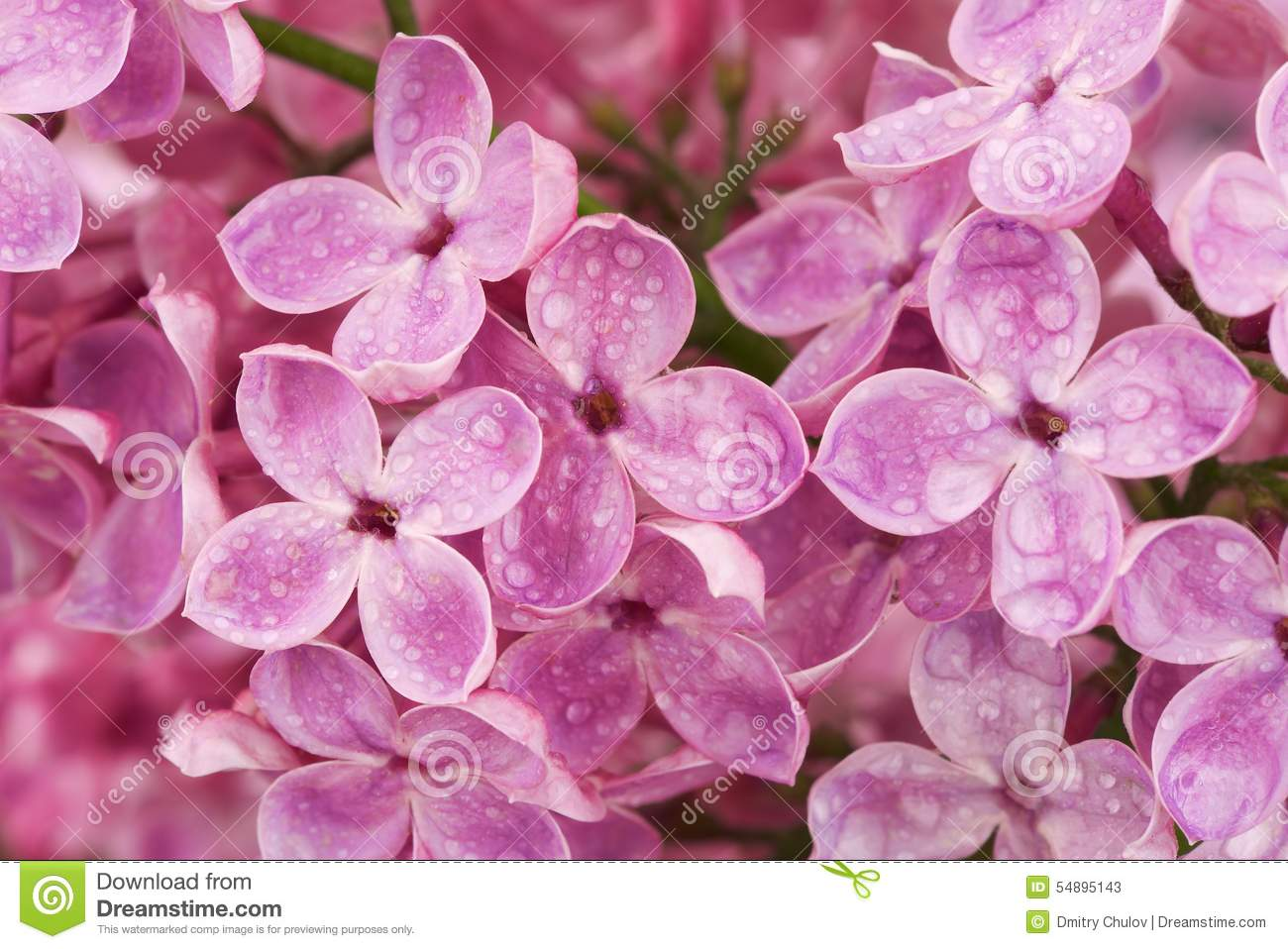 Pink Lilac Flowers After Rain Close Up Stock Image Image Of
