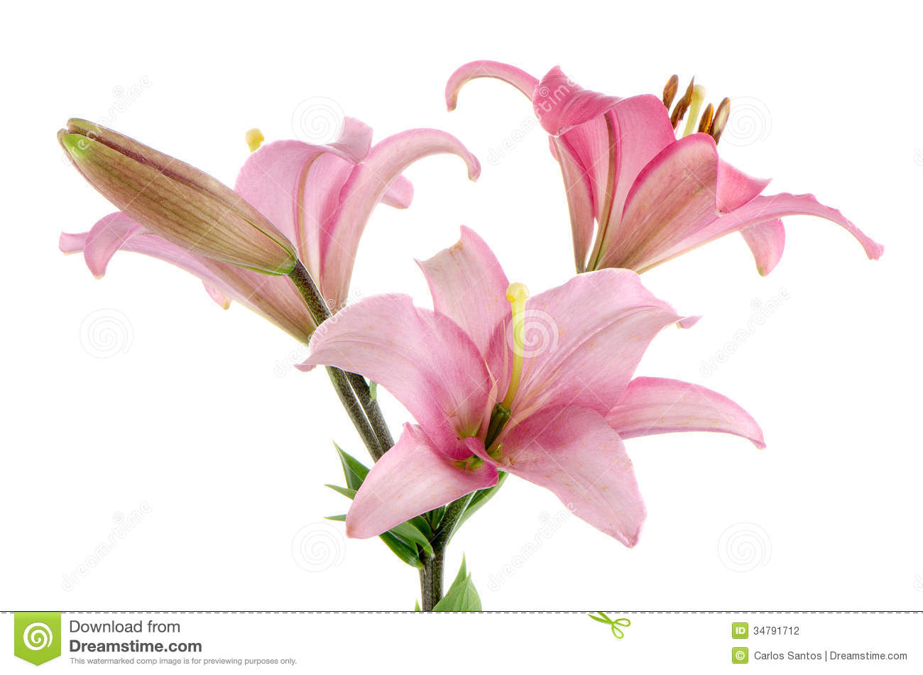 Beautiful pink flowers in the garden stock photography image - Pink Lilies Stock Photography Image 34791712